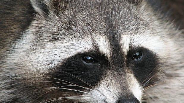 how-to-get-rid-of-raccoons-effective-deterrent-methods