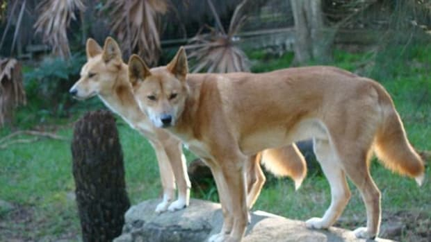 the-american-dingo-what-is-a-carolina-dog
