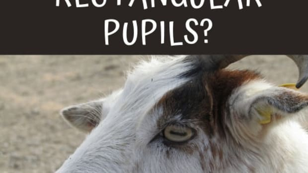 why-do-goats-eyes-have-rectangular-pupils
