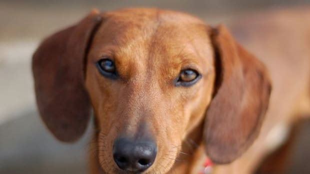 is-stress-causing-your-dogs-cushings-disease