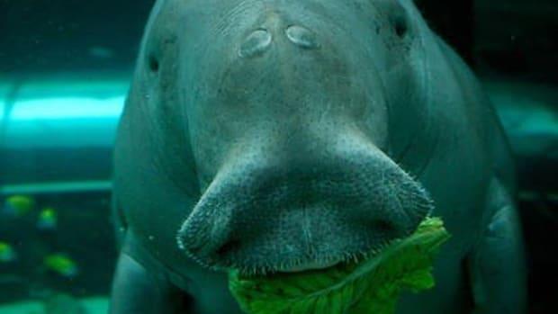 dugongs-mermaids-and-manatees