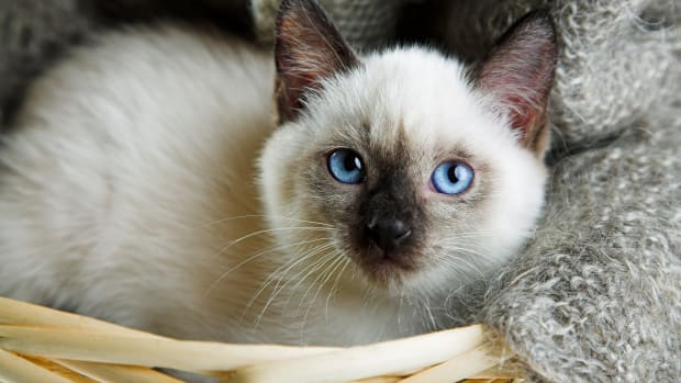 siamese-cat-names
