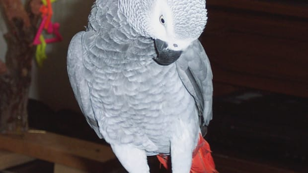 boisterous-bailey-an-incredible-african-grey-parrot
