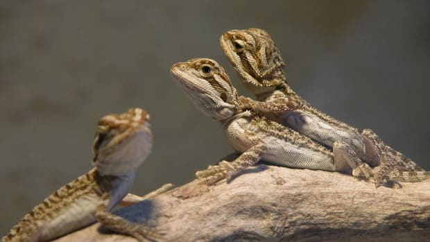 how-to-breed-bearded-dragons-safely