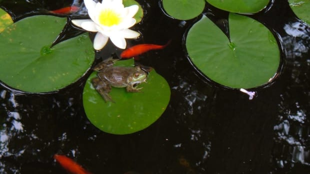 how-to-plant-water-lilies