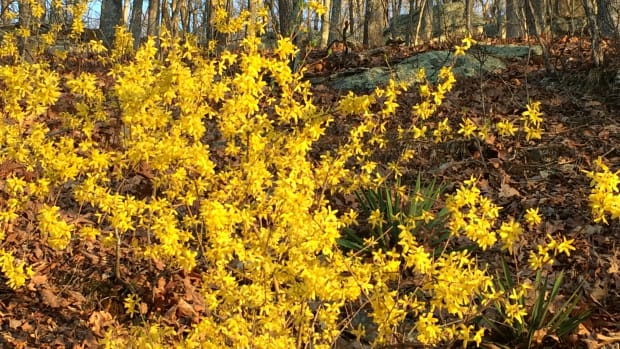forsythia-pruning