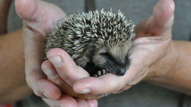 raising-hedgehogs