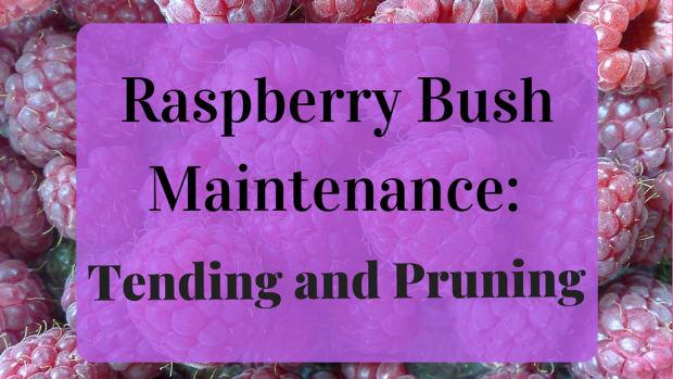 pruning-raspberries-