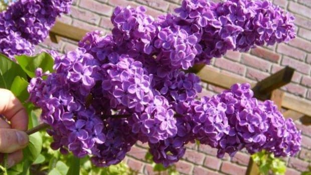pruning-lilacs