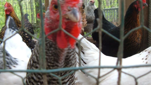 caring-for-chickens-in-cold-weather