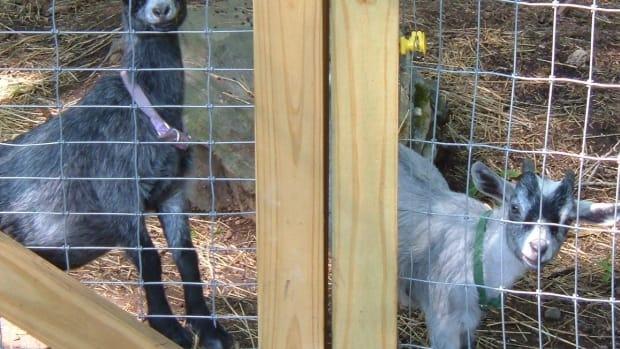 pet-pygmy-goats