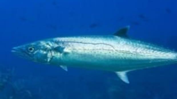 catching-more-king-mackerel