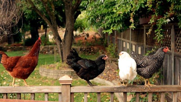 backyard-chicken-diseases