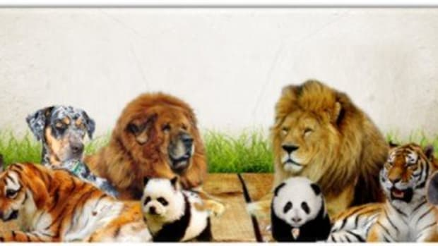 11-dogs-that-look-like-lion-leopard-tiger-panda-andother-wild-animals