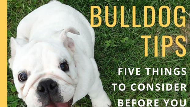 5-considerations-before-owning-an-english-bulldog