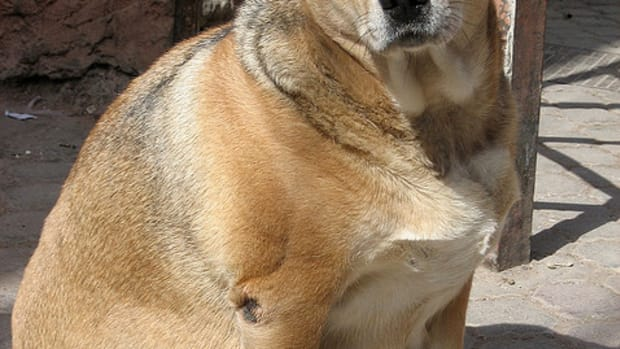 important-facts-about-weight-management-in-senior-dogs