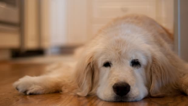 what-is-cognitive-dysfunction-syndrome-cds-in-dogs-and-how-can-i-help-my-pet-adjust