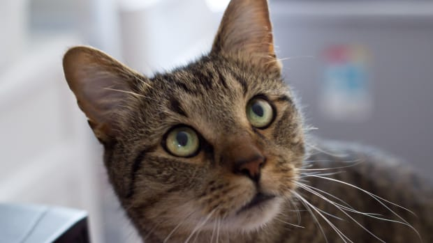 tabby-cat-care