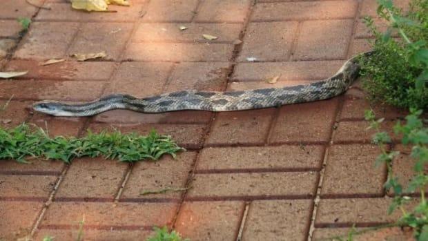 rat-snakes-in-louisiana