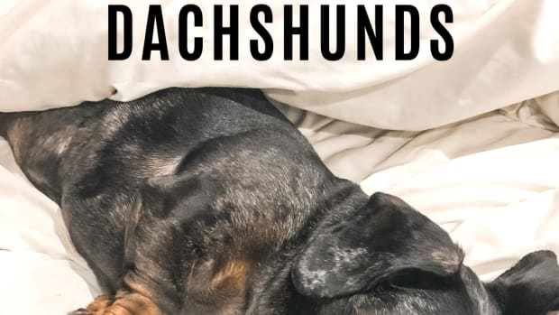 dachshund-back-problems