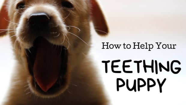 puppy-teething