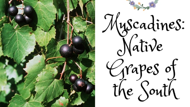 muscadines_native_grapes_south