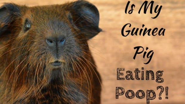 why_guinea_pigs_eat_poo