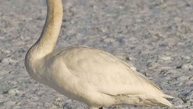 the-complete-guide-to-british-birds-swans-and-geese