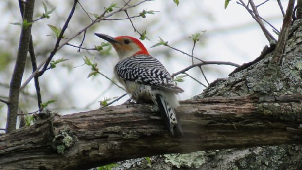 woodpeckers-of-pennsylvania-and-the-northeast