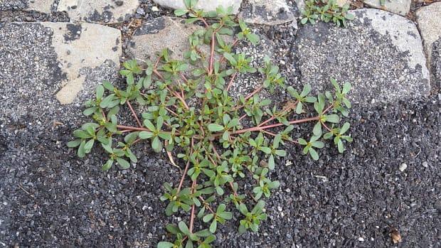 how-to-grow-purslane-an-edible-weed