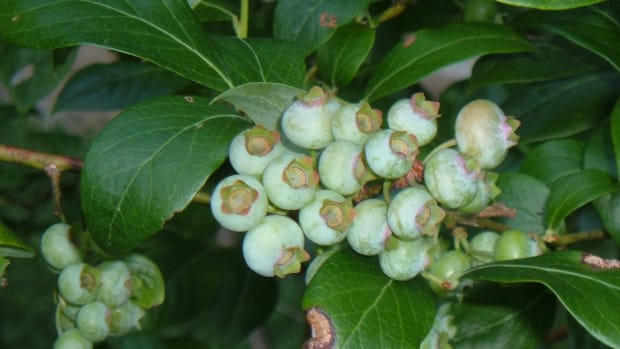 planting-blueberry-bushes-growing-blueberry-plants-at-home
