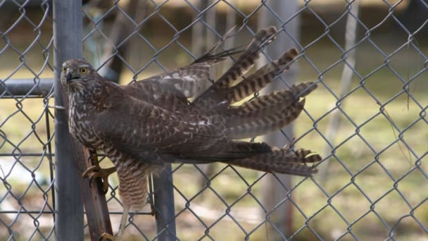 i-locked-a-brown-goshawk-in-with-my-chickens-how-my-poultry-survived-a-night-with-a-hawk