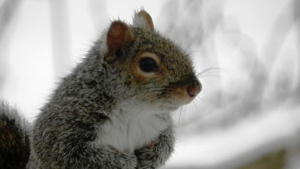 how-to-keep-the-eastern-gray-squirrel-out-of-your-bird-feeder