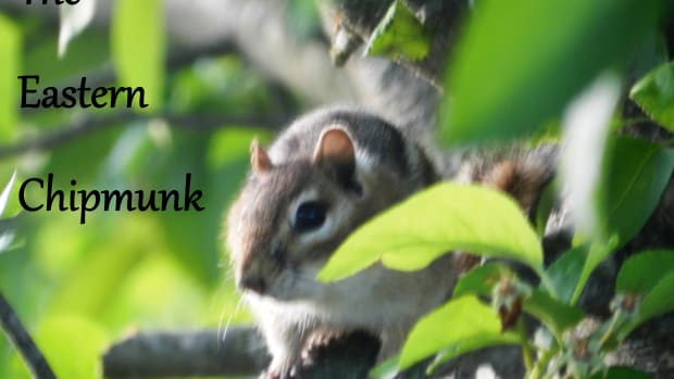 manage-eastern-chipmunk-problems-in-your-garden-and-yard