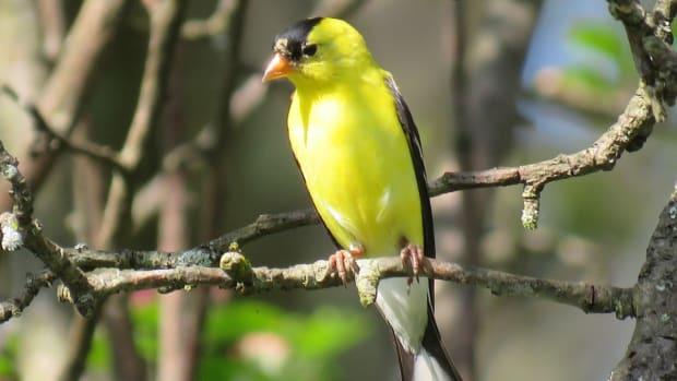 how-to-attract-the-american-goldfinch-to-your-yard