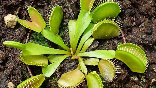 surprising-facts-about-the-vulnerable-venus-flytrap