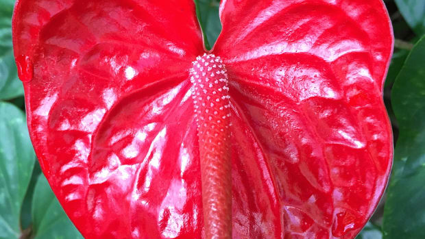 petals-of-love-12-red-color-flowers-of-hawaii