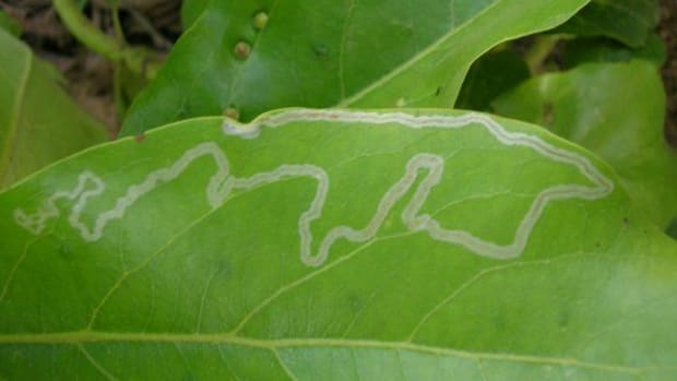how-to-get-rid-of-leaf-miners