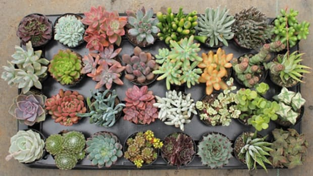 caring-for-succulents-during-the-winter