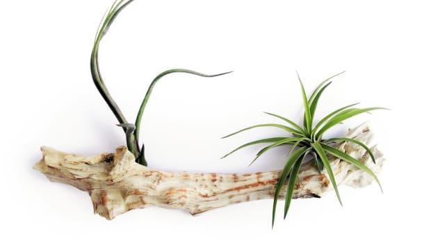 how-to-grow-air-plants-tillandsia