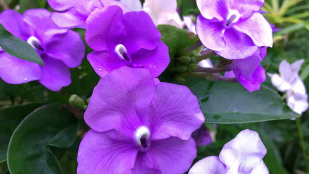 planting-a-garden-with-purple-tropical-flowers