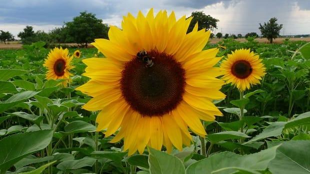 sunflowers-large-seeds-big-flowers