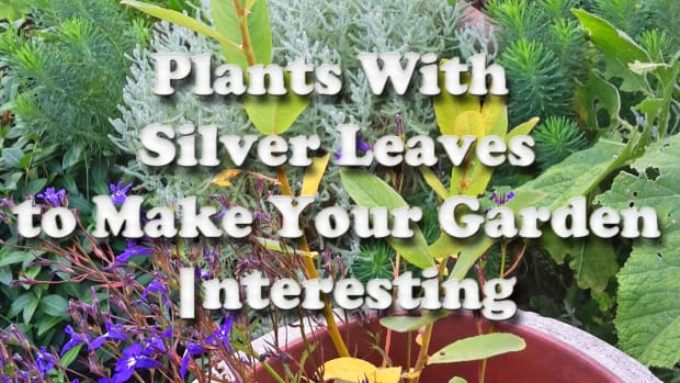 5-plants-with-silver-leaves-to-make-your-garden-interesting