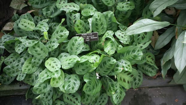 how-to-grow-a-prayer-plant