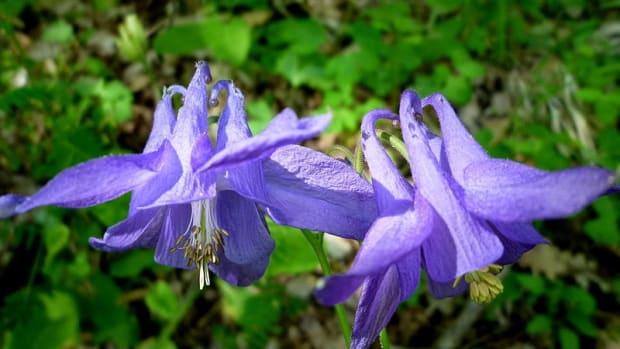 how-to-grow-columbine-aquilegia-a-cottage-garden-favorite