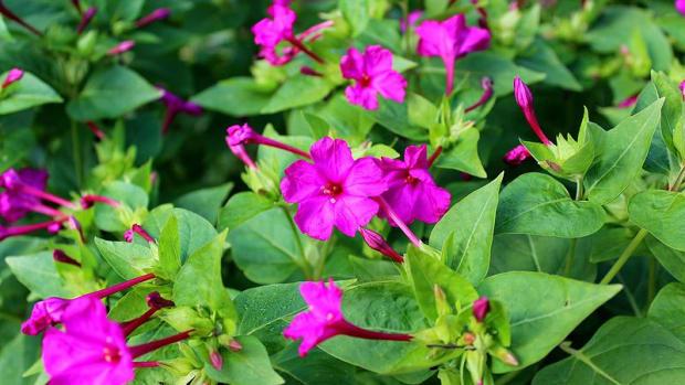 how-to-grow-four-oclocks-a-cottage-garden-favorite