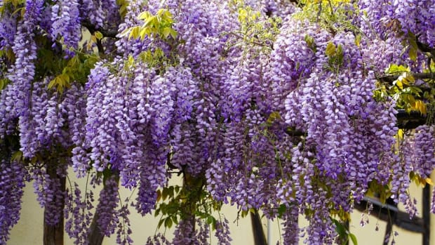 how-to-grow-wisteria-for-sping-color