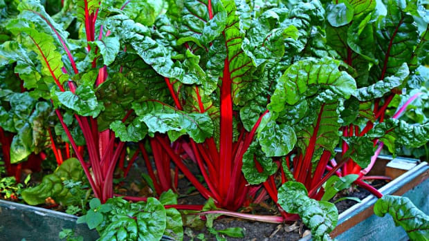 how-to-grow-swiss-chard-for-spring-or-fall