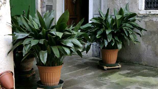how-to-grow-cast-iron-plant-indoors-or-outdoors