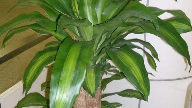 how-to-grow-a-corn-plant-mass-cane
